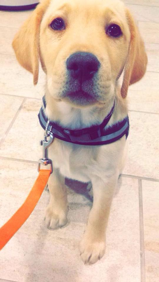 Cali, service dog in training!
